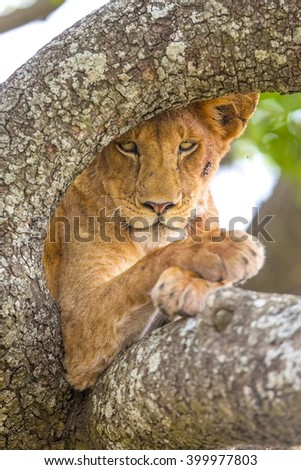 Close up of lion with wild eyes rests in tree - stock photo