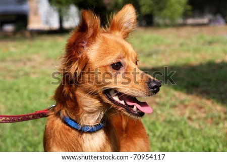 Close up of little foxy dog with open mouth - stock photo