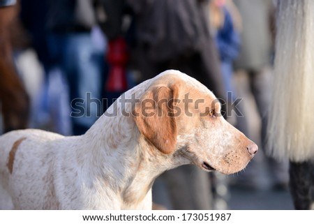 Close up of lone hound waiting patiently at meet to go hunting in Shropshire countryside. - stock photo