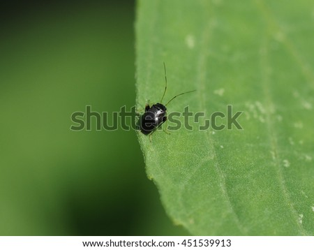 close up of long antenna tiny black bug perched on small green leaf under sunslight. - stock photo