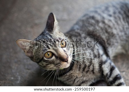 Close up of lovely Thai small kitten - stock photo