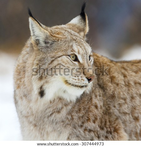 Close up of lynx in the forest - stock photo