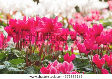 Close up of magenta cyclamen flowers blossom in flower garden - stock photo