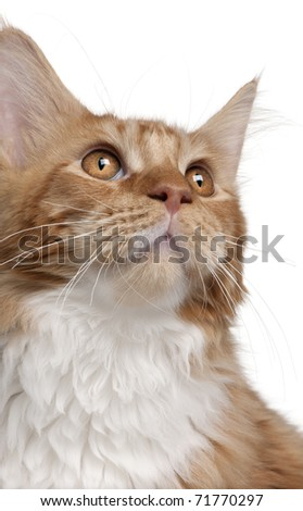 Close-up of Maine Coon kitten, 7 months old, in front of white background - stock photo