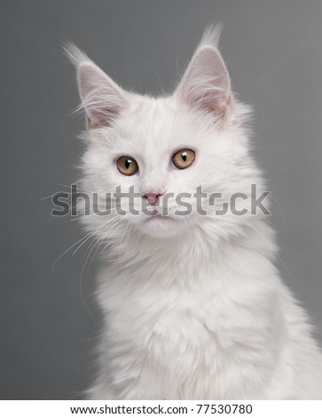 Close-up of Maine Coon, 5 months old, in front of grey background - stock photo