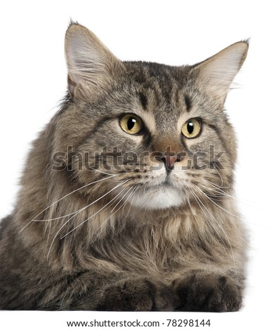Close-up of Maine Coon, 2 years old, in front of white background - stock photo