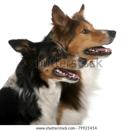 Close-up of Male Border Collie, 7 years old, Female Border Collie, 3 years old, in front of white background - stock photo