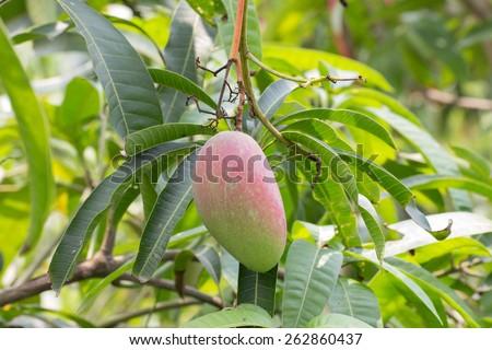 Close up of mangoes on a mango tree - stock photo