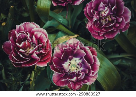 Close up of maroon ruffled French parrot tulips with detailed focus of the flower interior and stamen in vintage style - stock photo