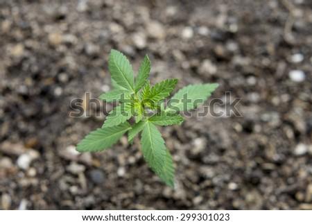 close up of medical marijuana plant  - stock photo