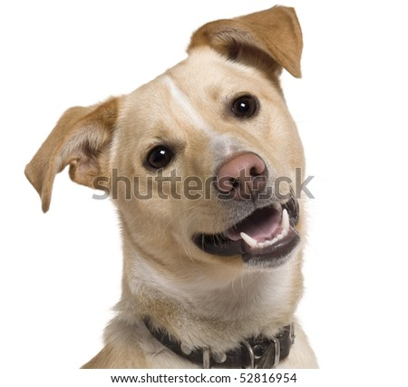 Close-up of Mixed breed dog, 9 months old, in front of white background - stock photo