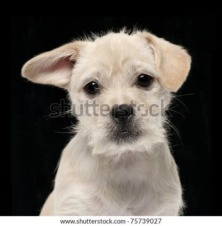 Close-up of Mixed-breed puppy, 4 months old, in front of black background - stock photo