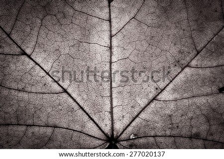 Close up of mono in black and white autumnal maple leaf texture - stock photo