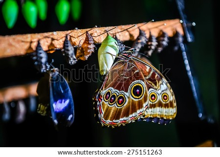 Close-up of Morpho peleides butterfly and chrysalis - stock photo