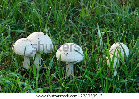 Close-up of mushrooms in green grass covered with dew in the early autumn morning - stock photo