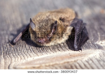 Close up of Nathusius' pipistrelle bat on sunny day on wooden plank - stock photo