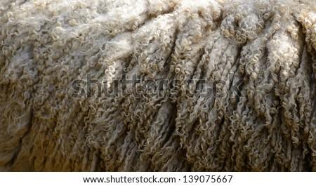 close up of natural sheep wool before shearing - stock photo
