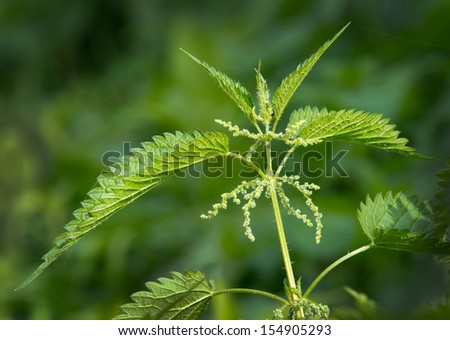 Close up of nettle plant in forest - stock photo