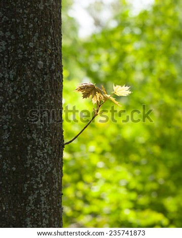 Close-up of new twig on old maple trunk over spring forest background  - stock photo