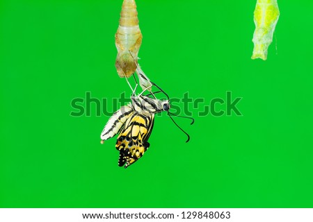 Close up of newly born lime butterfly, just after its emerging, clinging on its pupal case, green background - stock photo
