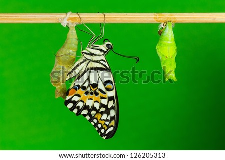 Close up of newly emerged lime butterfly clinging beside its pupal case with green background - stock photo