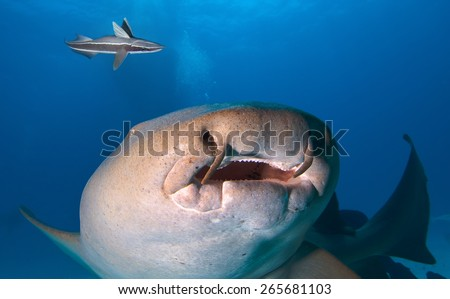 Close up of Nurse shark. - stock photo
