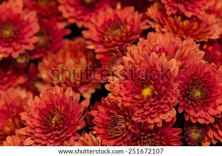 Close up of orange Chrysanthemums flowers bouquet. - stock photo