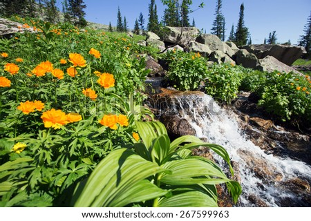 close-up of orange globe-flower at the foot of the Ergaki Western Sayan  on a sunny summer day - stock photo