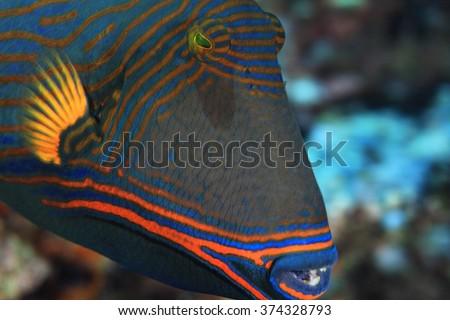 Close up of Orange-striped triggerfish (Balistapus undulatus)  - stock photo
