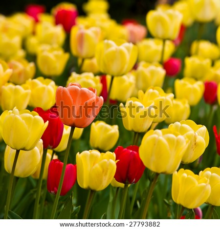 Close-up of orange tulip with yellow and red tulips background in a garden. Selective focus 03 - stock photo