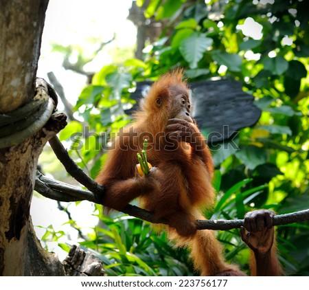Close up of orangutan, selective focus. - stock photo