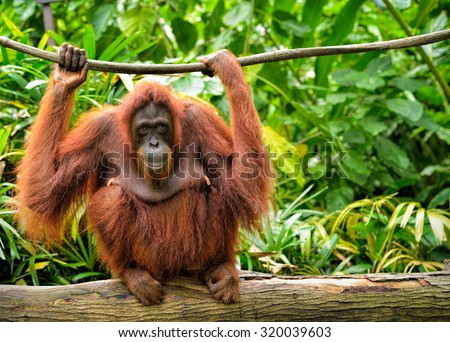 Close up of orangutan, selective focus. - stock photo