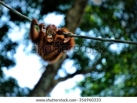 Close up of orangutan swinging in the park, selective focus. - stock photo