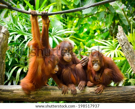 Close up of orangutans, selective focus.  - stock photo