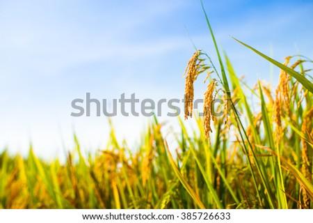 Close-up of paddy rice farm under blue sky. - stock photo
