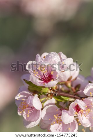 Close up of pale pink spring blossom - stock photo