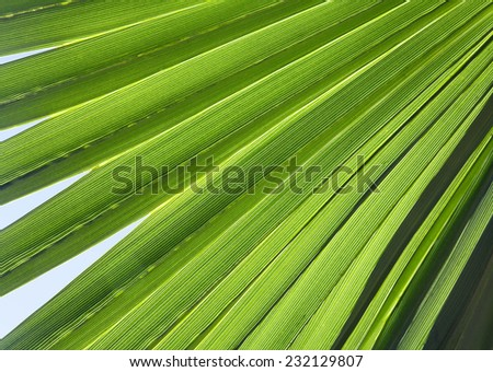 Close-up of palm leaf in back light - stock photo