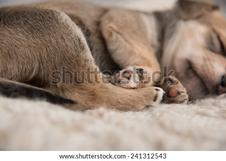 Close Up of Paws of Tiny Puppy Sleeping in Bed Wrapped on Wool Sweater - stock photo