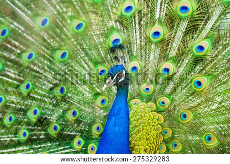 Close up of peacock showing feathers - stock photo