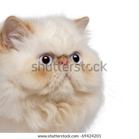 Close-up of Persian kitten, 5 months old, in front of white background - stock photo
