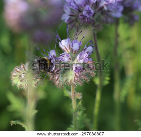 Close-up of  phacelia  flower (phacelia tanacetifolia) and humble bee collects nectar - stock photo
