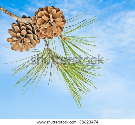 Close up of pine branch with cones - stock photo