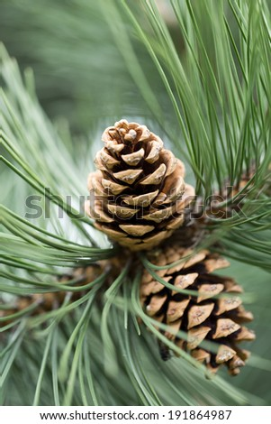 close up of pine cone in garden - stock photo