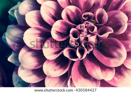 Close up of pink and purple Aster flower with rain drops on petals in vintage style   - stock photo