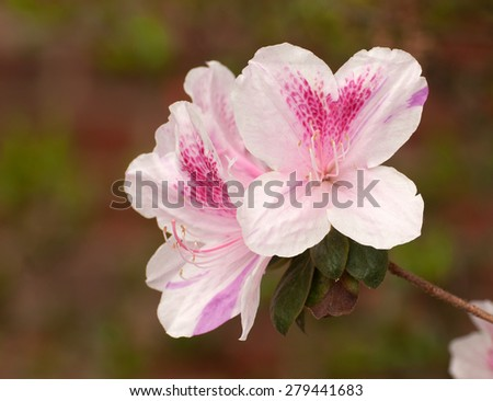 Close up of pink azalea flowers, ericaceae, isolated against background - stock photo