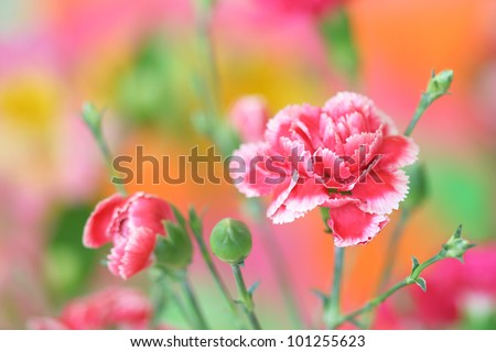 Close-up of pink carnation flower on bright colorful background - stock photo