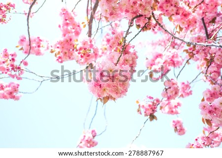 close up of pink cherry blossom-sakura flower blooming in Hokkaido, Japan - stock photo