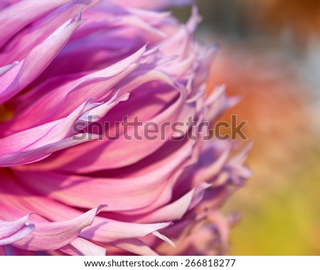 Close-up of pink chrysanthemum flower. Abstract blossom background. Soft focus, shallow DOF. - stock photo