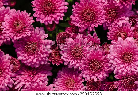 Close up of pink Chrysanthemums flowers bouquet. - stock photo