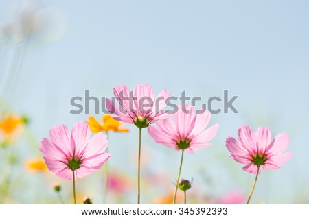 Close up of pink cosmos flowers, pastel tone, natural background. - stock photo